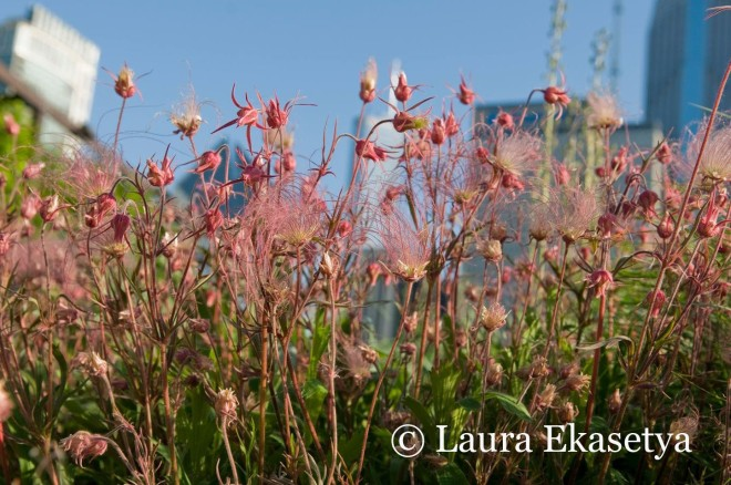 Geum triflorum shows the apt name of prairie smoke as the pink plume-like seed heads develop. Despite being a North American native, it is still uncommon in American gardens.
