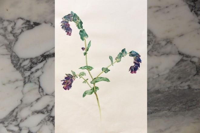 Cerinthe major, J. Bruce, watercolor