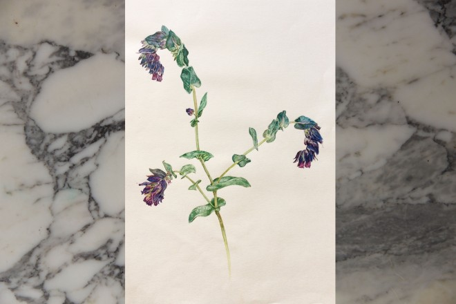 Cerinthe major, J. Bruce, watercolor