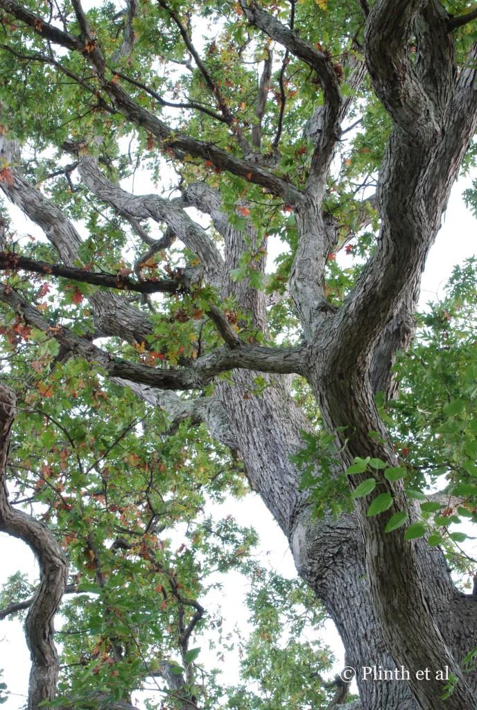 Oak_boughs