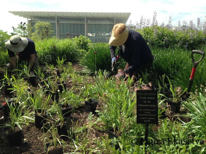 Volunteers plantig Echinacea simulata