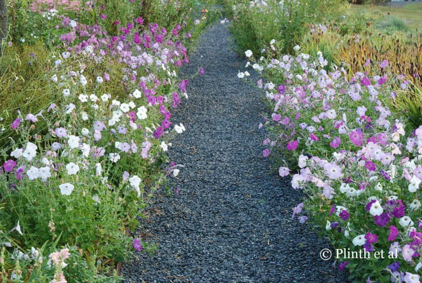 Modern petunia hybrids lack the fragrance of older varieties (the scent inherited from Petunia axillaris) that likely existed in Ely's time. In the picking garden, the old-fashioned climbing petunias line the gravel pathway. So rambunctious is their growth that Quill have to prune them!