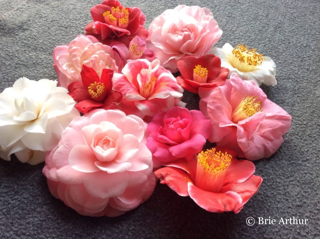 Brie loves camellias for their colors and diversity.