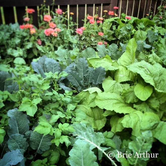 Brassicas, a favorite of Brie, grow well in her vegetable garden.