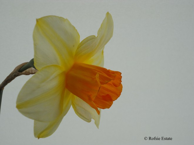 Backhouse Narcissus