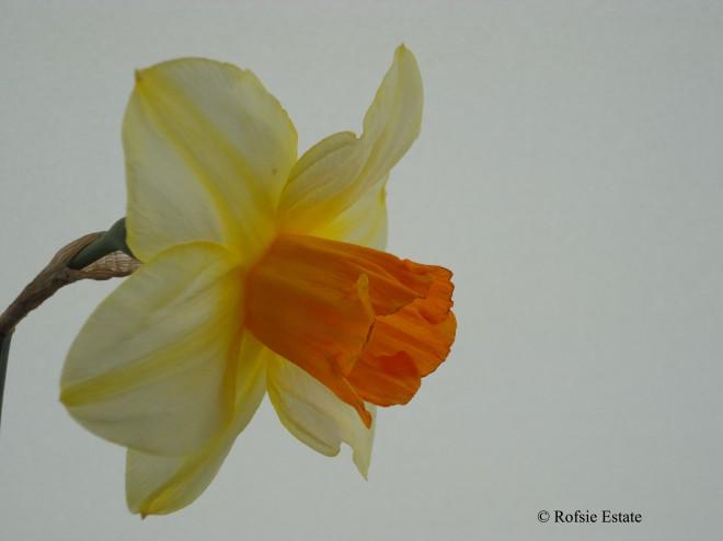 Backhouse Narcissus