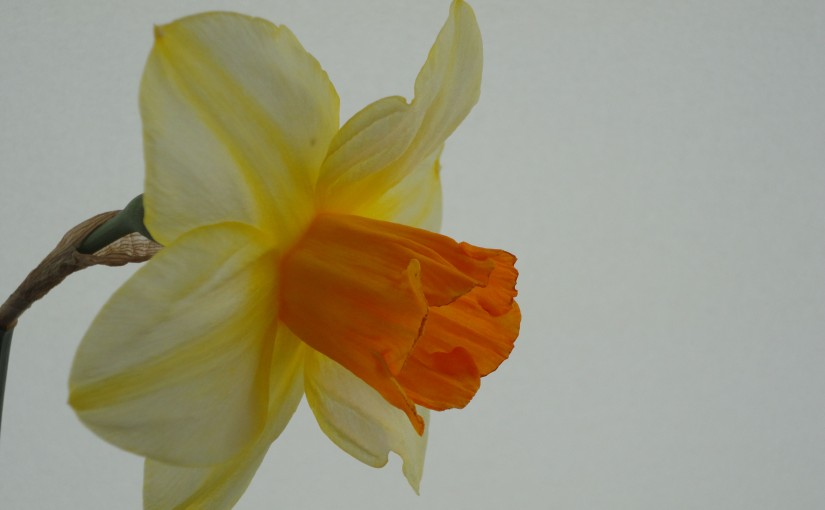 A  Public Call for Backhouse Daffodils