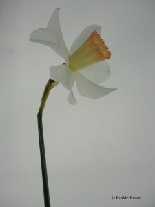 Backhouse Daffodil