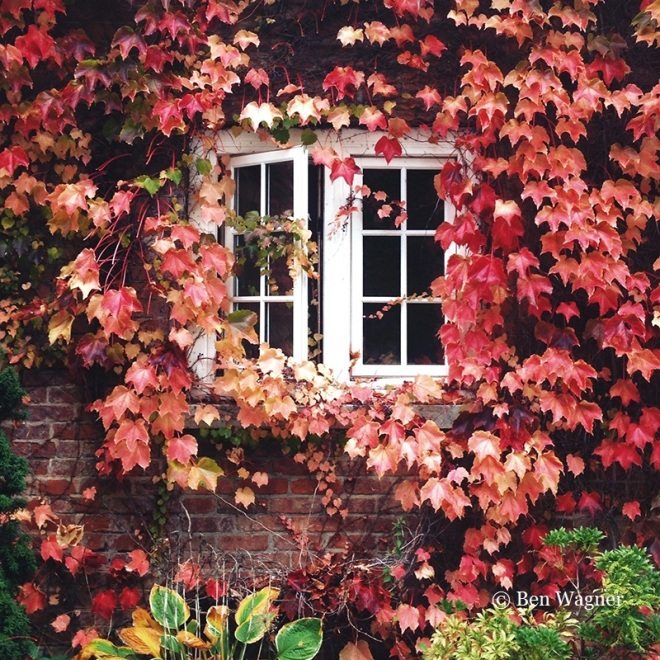Boston Ivy cloaked in red.