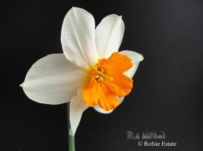 Rofsie Estate, Narcissus 'Dick Wellband'
