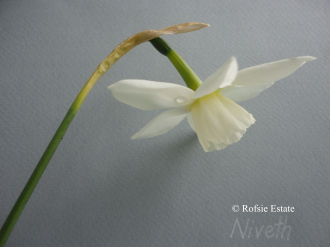 Narcissus 'Niveth'