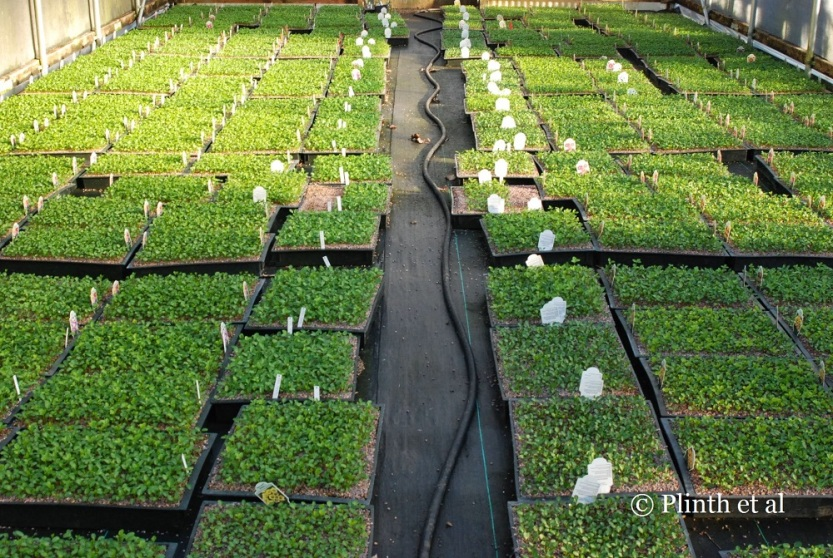 Hellebore seedlings await pricking out later into individual plugs.
