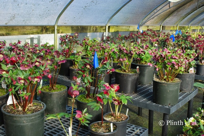 Hellebores in the breeding house await evaluation and culling.