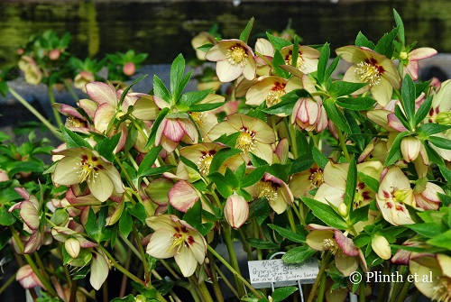 Helleborus x hybridus 'Winter Jewels™ Apricot Blush' shows the excellent traits of O'Bryne's focused breeding: clear and clean color, slightly upward facing orientation, and prolific vigor. Disease resistance is another criterion - any plants showing any symptoms are promptly rejected.