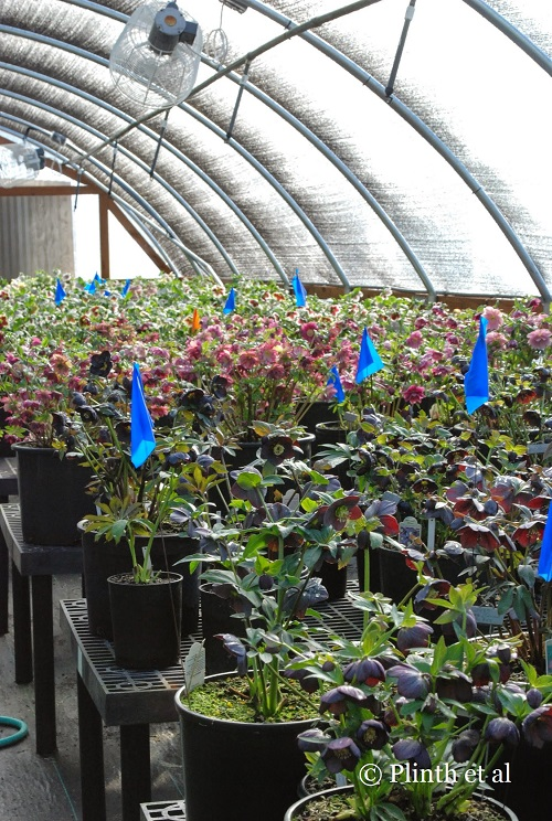 More hellebores in the breeding poly house - 'Winter Jewels™ Black Diamond' can be seen in the foreground.