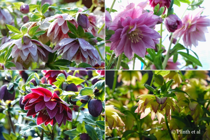 Double-flowered selections are one of O'Byrnes' cornerstones in their breeding work.
