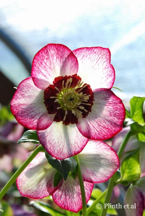 Helleborus x hybridus 'Winter Jewels™ Cherry Blossom'