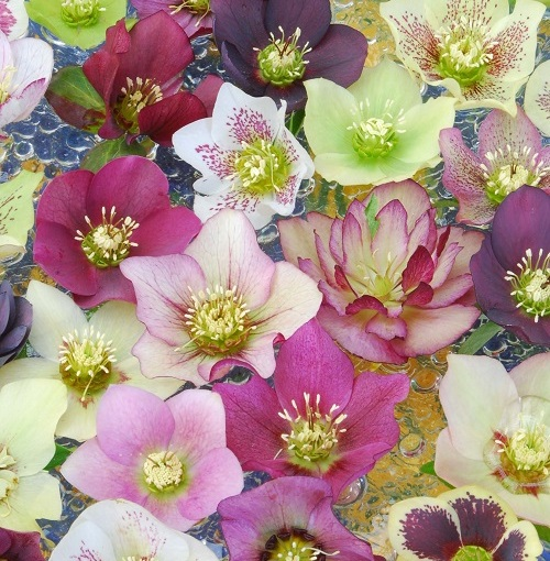 Floral Fridays: Hellebores Floating in a Bowl