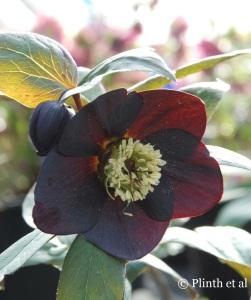 Hellebore_Flower