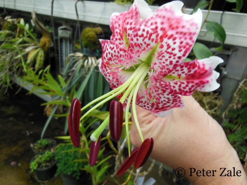 The Taiwanese form of Lilium gloriosoides.  One of my desert island plants.