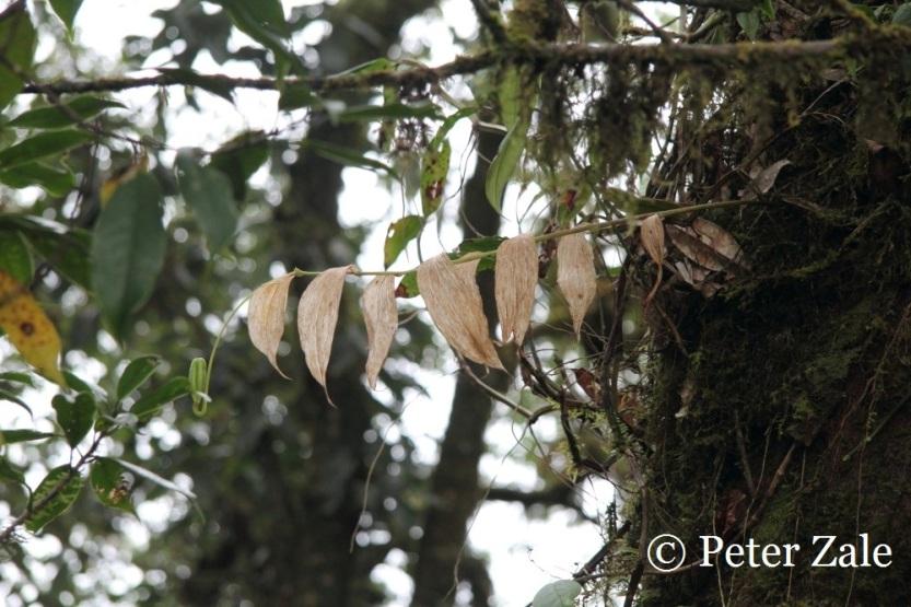 Lilium aroboricola in Kachin State, Northern Myanmar at 2300m in elevation