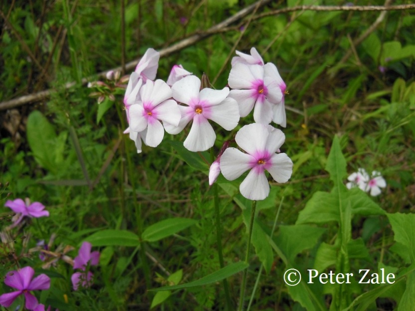 Phlox ovata 'White Mountainside'.  A unique flower color variant of this underutilized species that I found in western Virginia