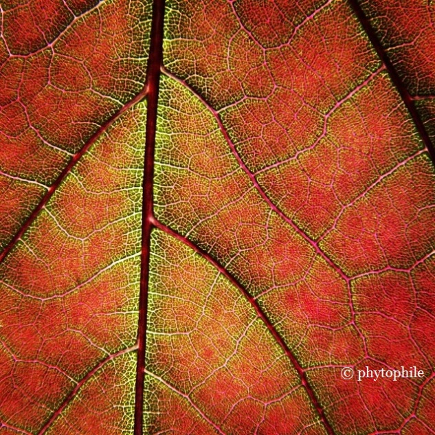 Red Leaf Close Up