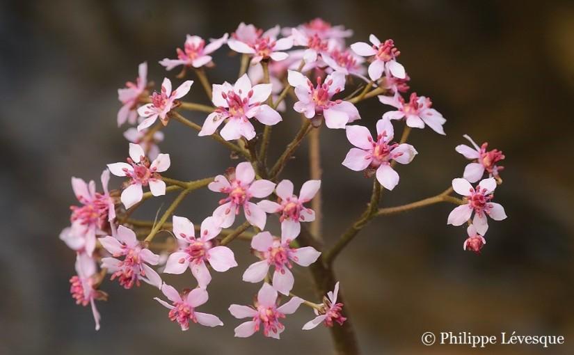 Plantsman's Corner: Darmerapeltata