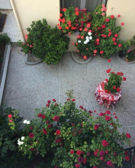 Greek Gardens, pelargoniums
