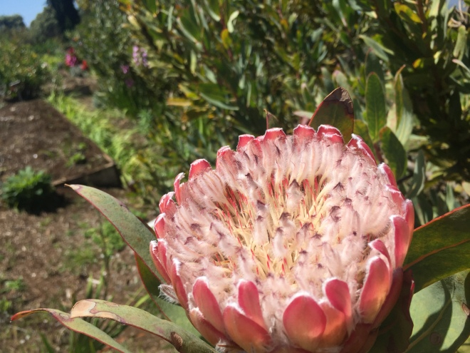 Protea-Hawaii-GraceMartinelli