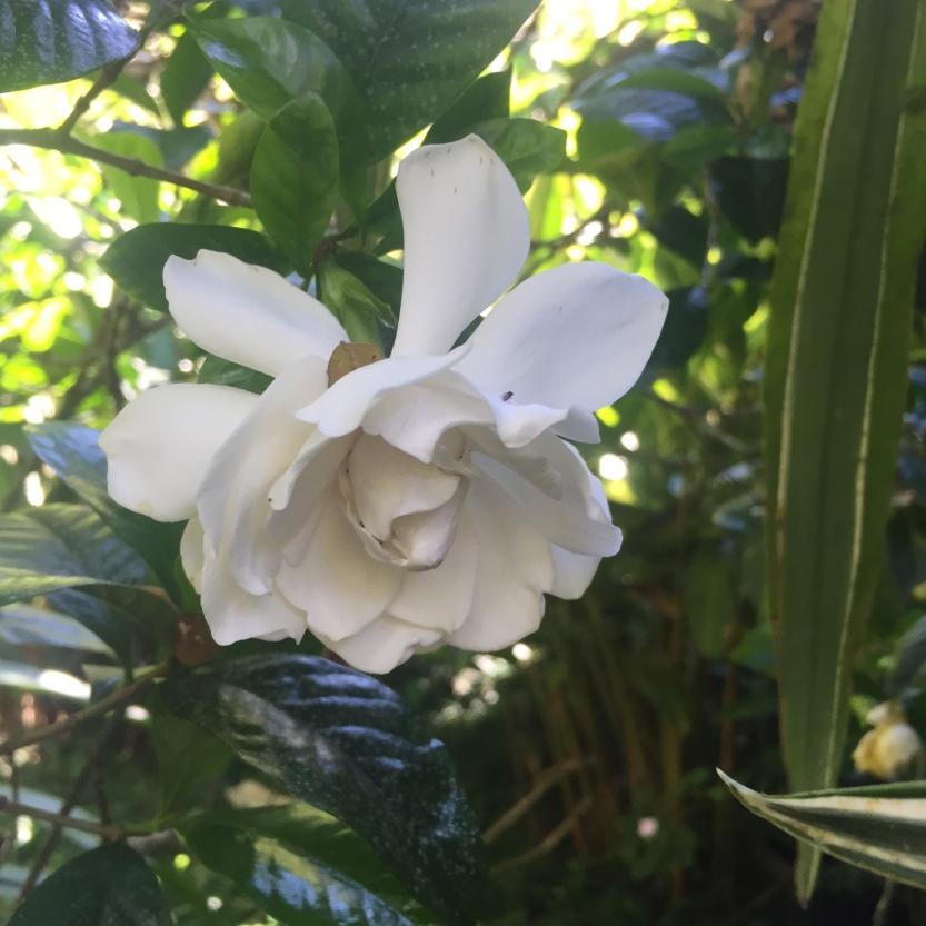 Gardenia-Hawaii-GraceMartinelli
