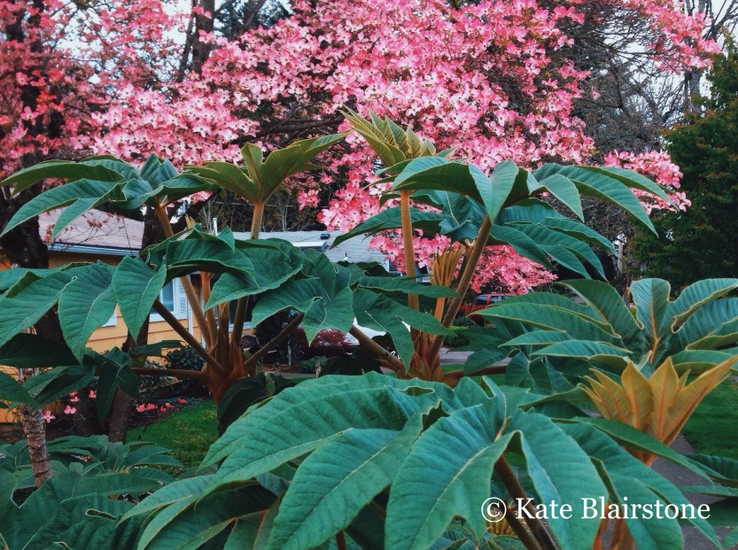 An unlikely combination made possible in the maritime Pacific Northwest climate: Tetrapanax papyrifer with Cornus.