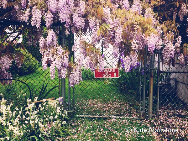 The 'Beware of Wisteria' should probably replace 'Beware of Dog' sign', and the juxtaposition, intentional or not, speaks a certain cheekiness, which Kate expresses somewhat in her work.