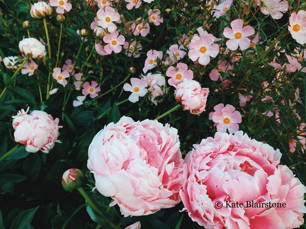 Summer pink on pink: herbaceous peonies swim among rock rose (Cistus), a combination feasible in climates like that of Portland where Kate is fortunate to reside.