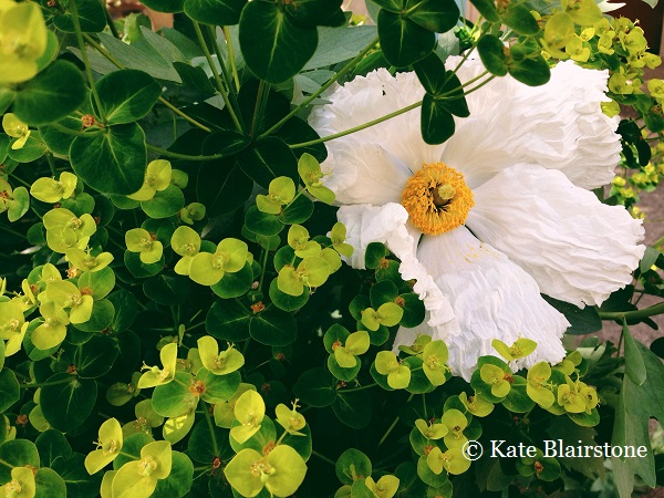 A solitary Coulter's Matilija poppy (Romneya coulteri) peeks forth from the chartreuse Euphorbia amydaloides var. robbiae; such surprise combinations inspire Kate's graphic prints.