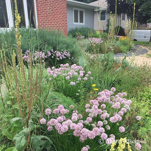 In Austin's home garden, Allium 'Summer Beauty', is a workhouse shrugging off the Midwest extremes to produce a reliable display. Here the red bobs of Sanguisorba officinalis orbit around the allium flowers.