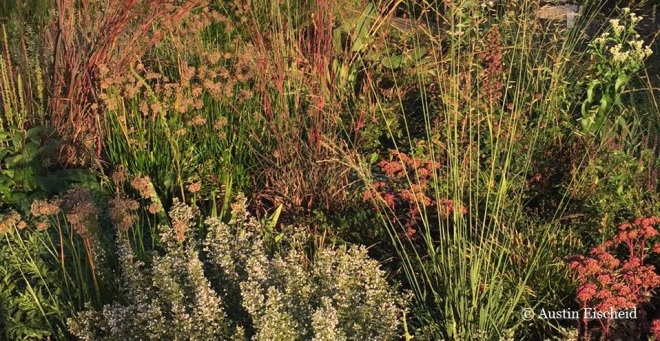 Alliums, Calamintha nepeta, sedums, and Andropogon gerardii 'Red October' in the warm glow of the autumnal light on an Iowan morning