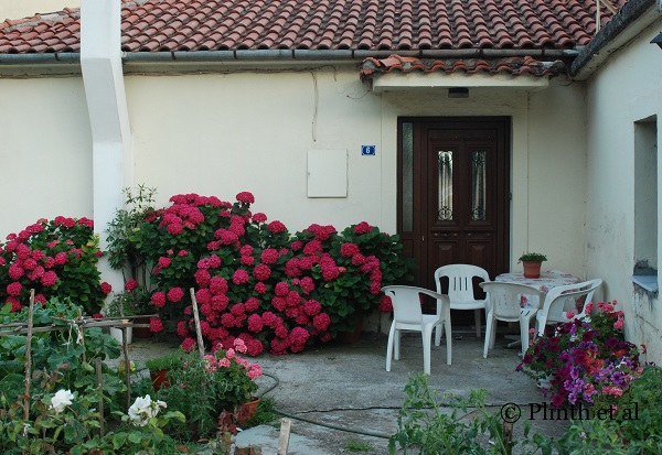 Tuesday's Terrace: Hydrangeas and Petunias in Greece PartII