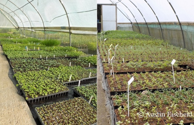 Propagation trays of plants, and plants in finishing containers fill the polytunnels at Orchard Dene where Austin worked last spring.