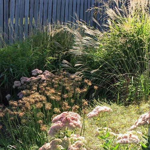 Grasses and herbaceous perennials are thematic teammates in Austin's Iowan garden. Austin has been a studious advocate of the looser planting styles t hat are defining gardens in this ecologically-minded milieu.