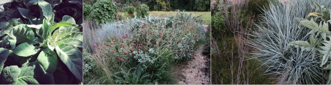Steely blue gray is the thematic color of Martha's garden (left to right): Verbascum phlomoides; Pycnanthemum muticum, Cynara cardunculus, and Leymus arenarius with Zinnia elegans 'Queen Red Lime'; Schizachyrium scoparium 'Standing Ovation', Leymus arenarius, and Cynara cardunculus