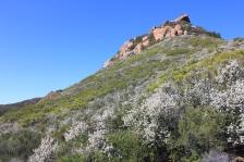 -Ceanothus cunneatus in the Santa Monica Mountains'