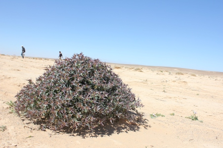 Euphorbia retusa in Eastern Desert, Jordan
