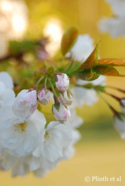Prunus Buds LQ