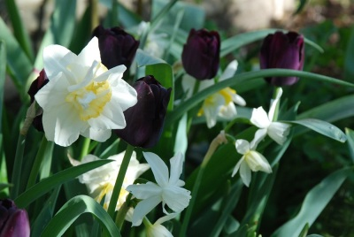 """Narcissus """"Manly' and N. 'Ice Wings' with Tulipa 'Continental' -"""