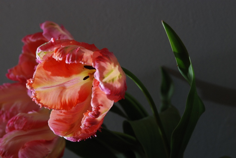 Floral Fridays: Tulipa 'Apricot Parrot'