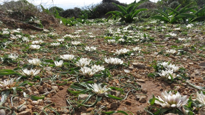 Androcymbium rechingeri covers the ground of Elafonisi in  western Crete.