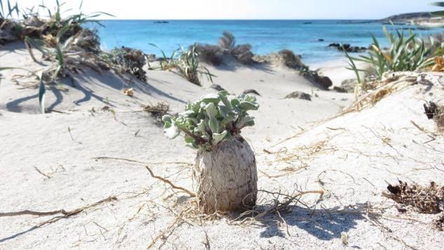 Centaurea_Crete