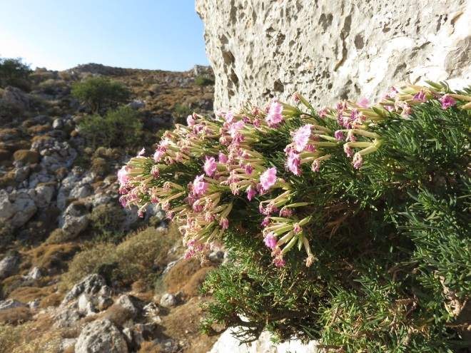 Dianthus fruticosus ssp. carpathus prefers to grow   vertically on the most unaccesible rocks of the island of Karpathos.