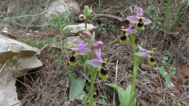 Ophrys tenthredinifera, one of the many orchid species you   are very likely to come upon on Mt.Hymettus